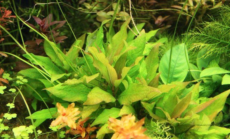 Чтобы гигрофила коримбоза росла в ширь, необходимо срезать верхушку растения