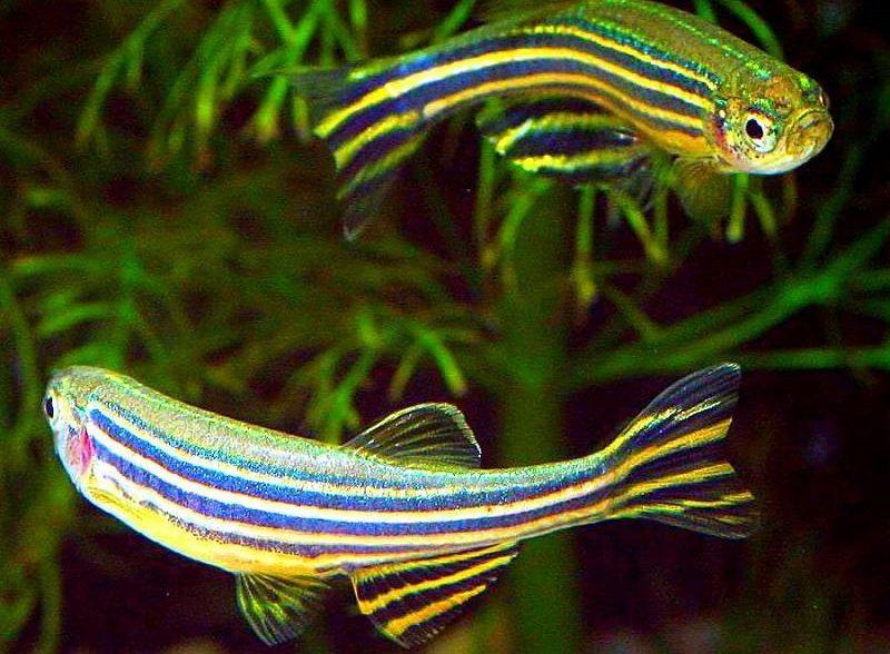 Данио будут мирно сосуществовать с золотыми рыбками