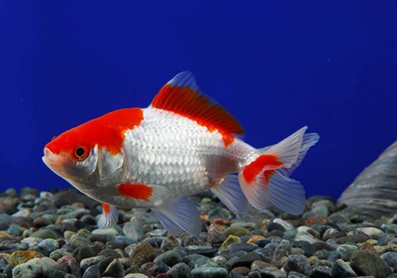 Длиннотелая золотая рыбка