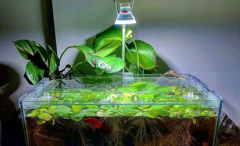 Для подсветки аквариума с растением рекомендуется использовать люминесцентную лампу