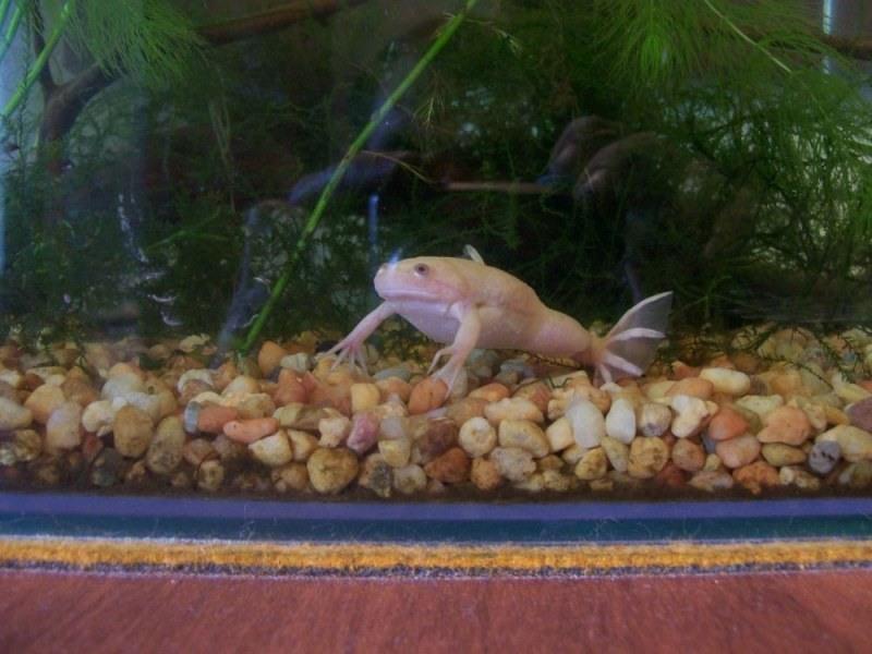 Для содержания шпорцевых лягушек нужен просторный аквариум