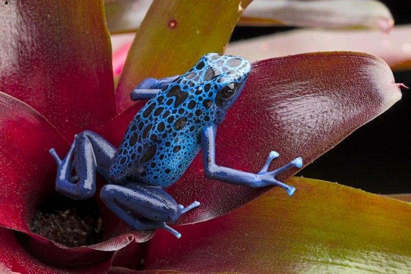Древолазы - это красивые и необычные лягушки, которые станут достойным украшением любого террариума