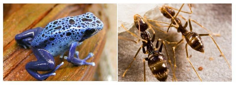 Древолазы накапливают токсины, содержащиеся в основной их пище — ядовитых муравьях