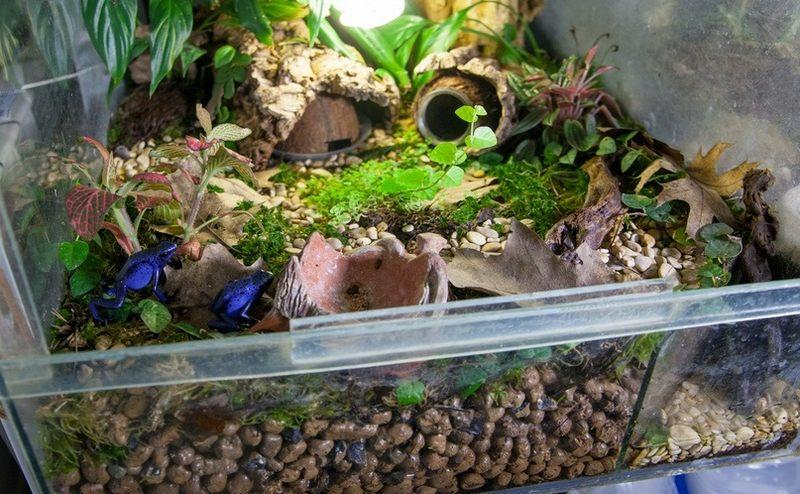 Древолазы обладают отличными адаптационными способностями и быстро привыкают к условиям обитания в неволе