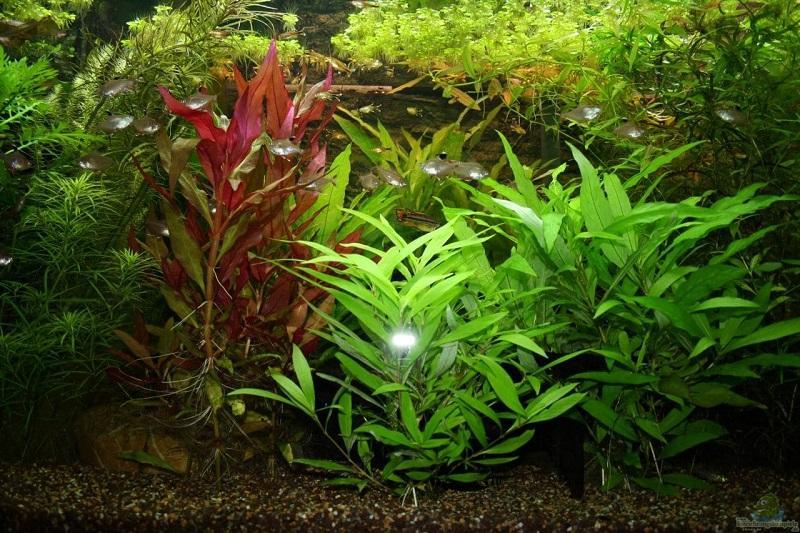 Гигрофила полисперма - популярное растение в аквадизайне