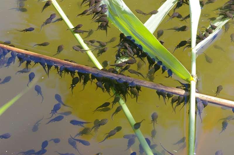 Головастики шпорцевой лягушки питаются плавающей в воде взвесью