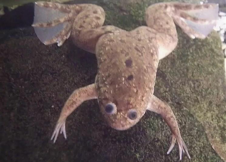 Грибковые инфекции у лягушки