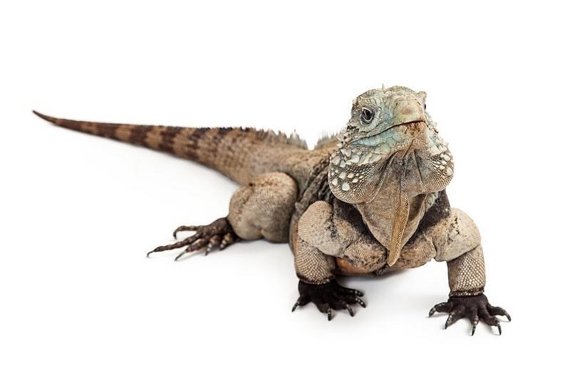 Игуана - крупная ящерица, вес которой может достигать 6,8 кг