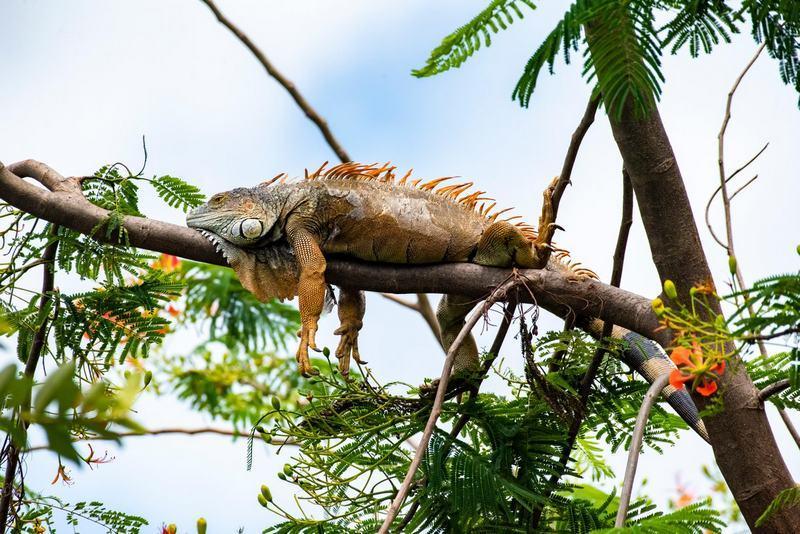Игуаны отлично лазают по деревьям и не боятся высоты