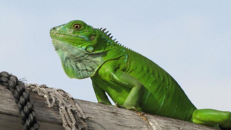 Игуаны зеленого цвета являются переносщиком сальмонеллеза