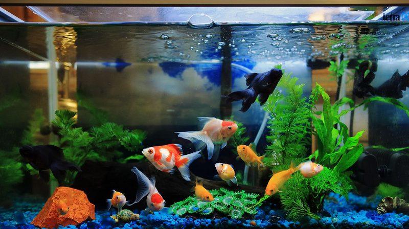 Классический прямоугольный аквариум с объемом не менее 50 литров - станет лучшим выбором для золотых рыбок