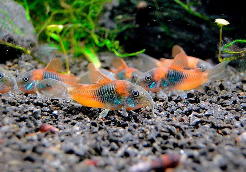 Коридорасы - отличные соседи для золотых рыбок
