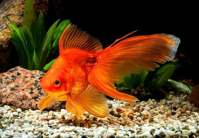 Короткотелая золотая рыбка