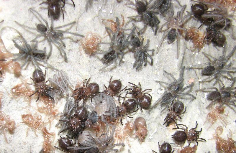 Личинки пауков-птицеедов питаются червями и небольшими жуками