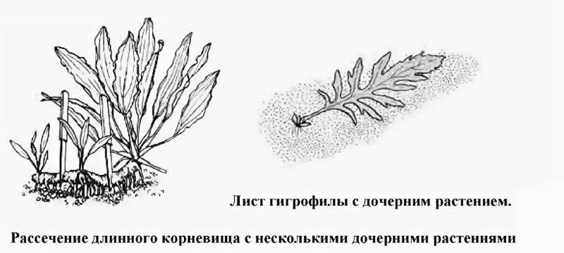 Листовыми черенками можно размножать все виды гигрофи.