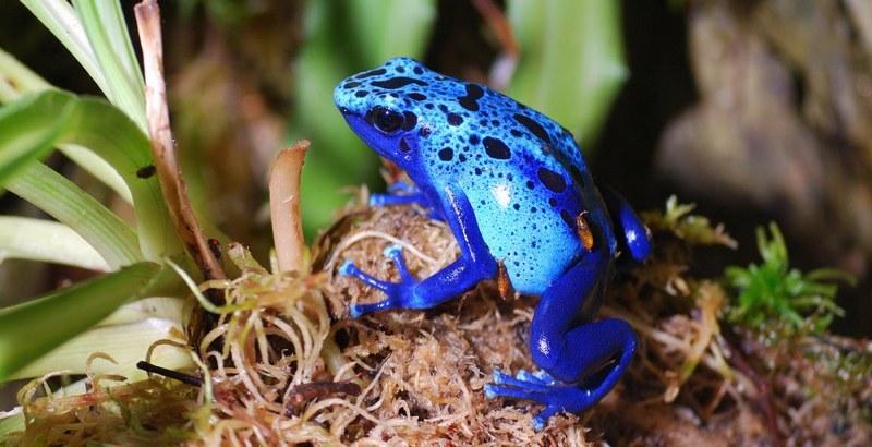 Лягушки обитают во влажных лесах Южной и Центральной Америки