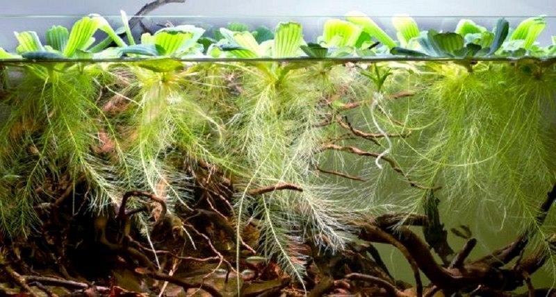 Массивные корни растения – показатель недостатка микроэлементов и питательных веществ