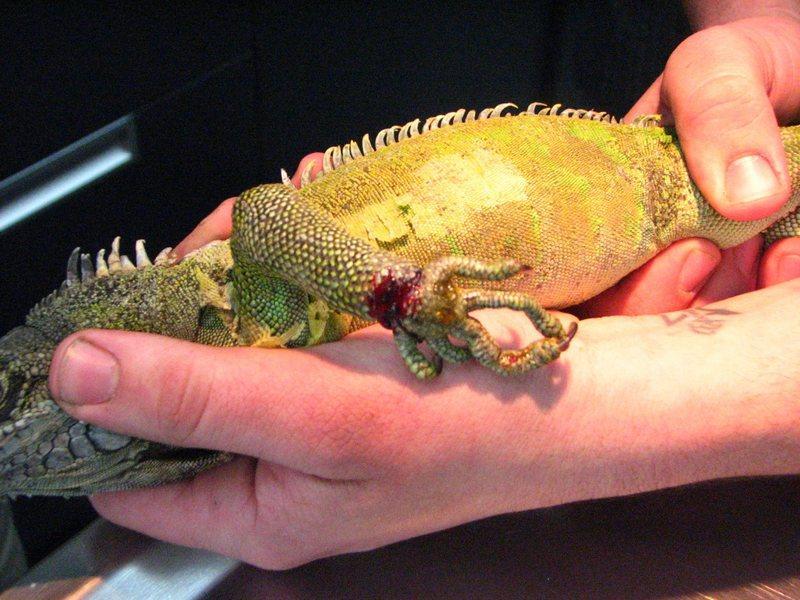 Механические повреждения кожных покровов у игуаны