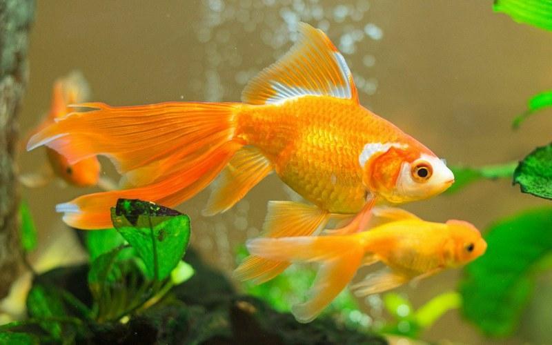 Не рекомендуется селить в один аквариум длиннотелых и короткотелых золотых рыбок