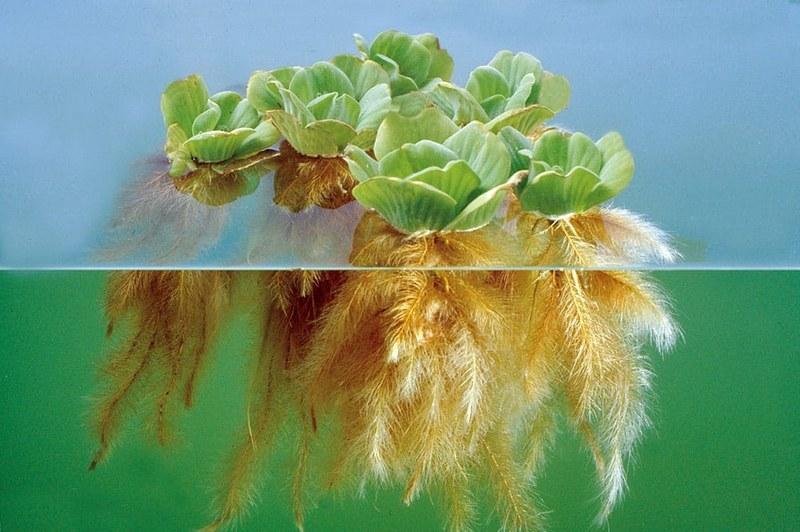 Основным способом размножения пистии является вегетативный путь через боковые отростки