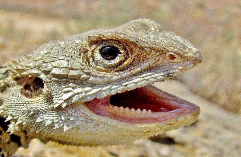 Острыми зубами игуана грызёт листья и может даже укусить