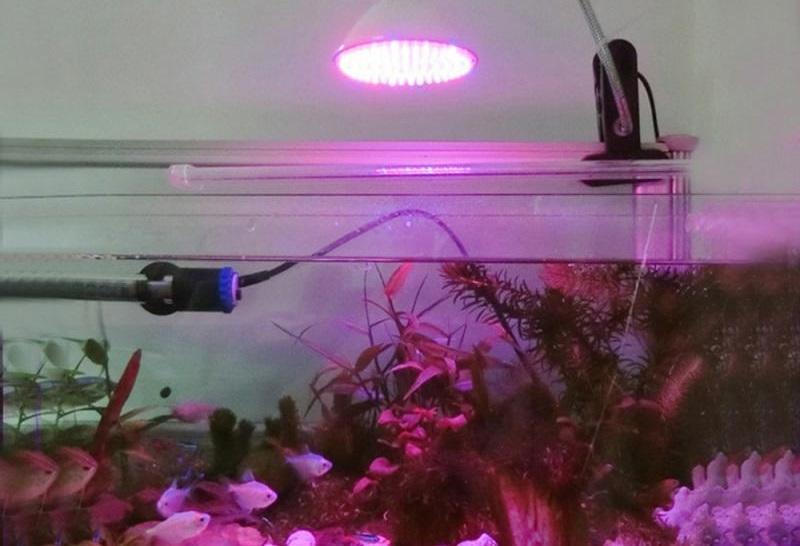 Для освещения альтернантеры рекомендуется использовать специальные люминесцентные лампы
