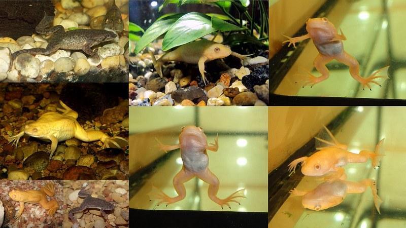 Перед приобретением шпорцевых лягушек следует изучить информацию об их питании, жилье и поддержании здоровья