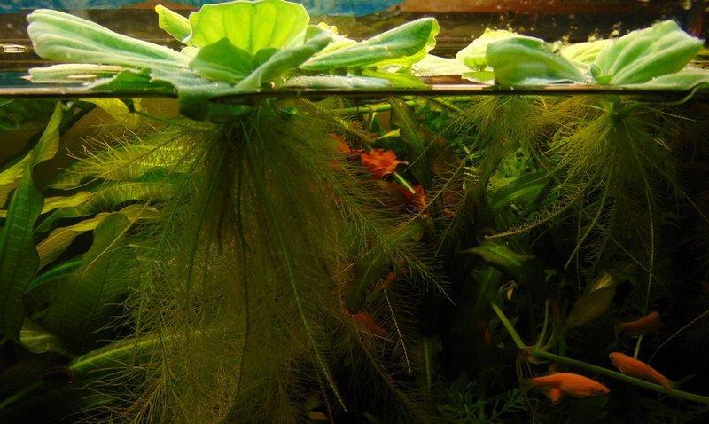 Пистия хорошо сочетается с другими растениями и водными обитателями