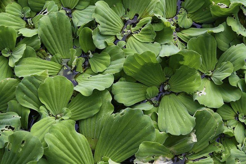 Пистия представляет собой многолетнее растение, плавающее на водной поверхности