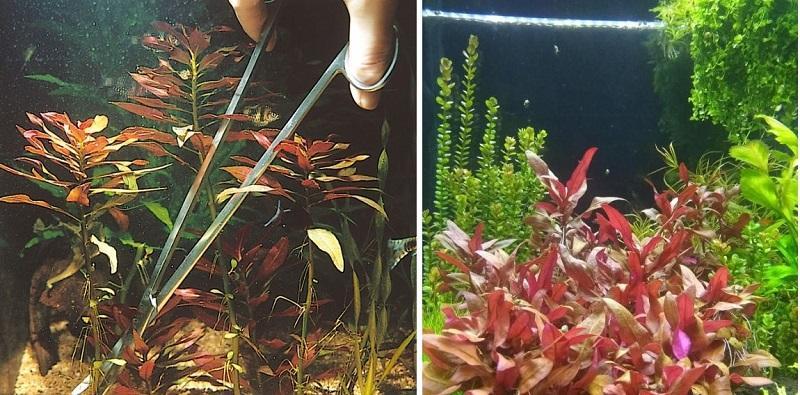 Следует регулярно проводить прищипывание верхней части растения