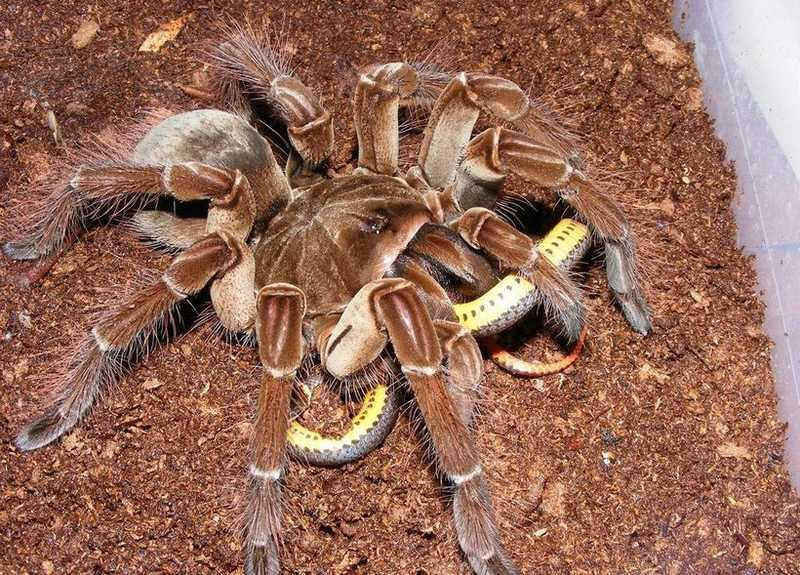 После заселения в террариум паука следует покормить