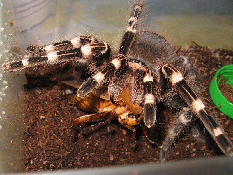 При содержании в домашних условиях для паука птицееда следует создать условия, приближенные к естественным