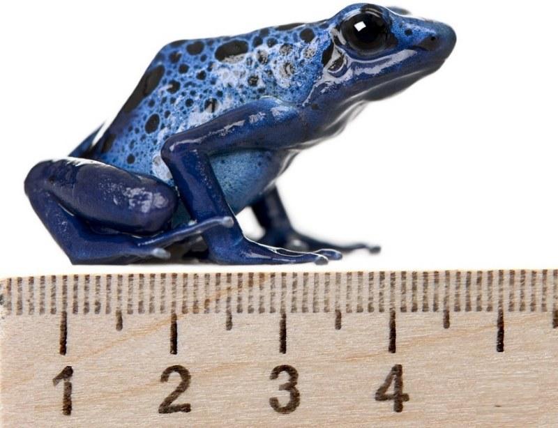Размер лягушек в природных условиях составляет 3,5-4,5 см