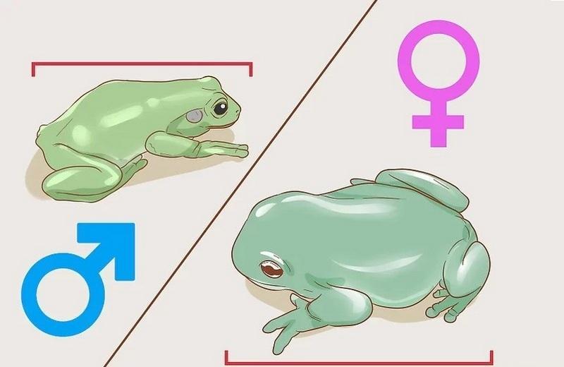Самцы обычно на 20% меньше самок, с тонкими телами и ногами