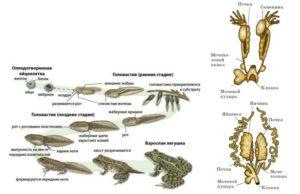 Схема размножения амфибий