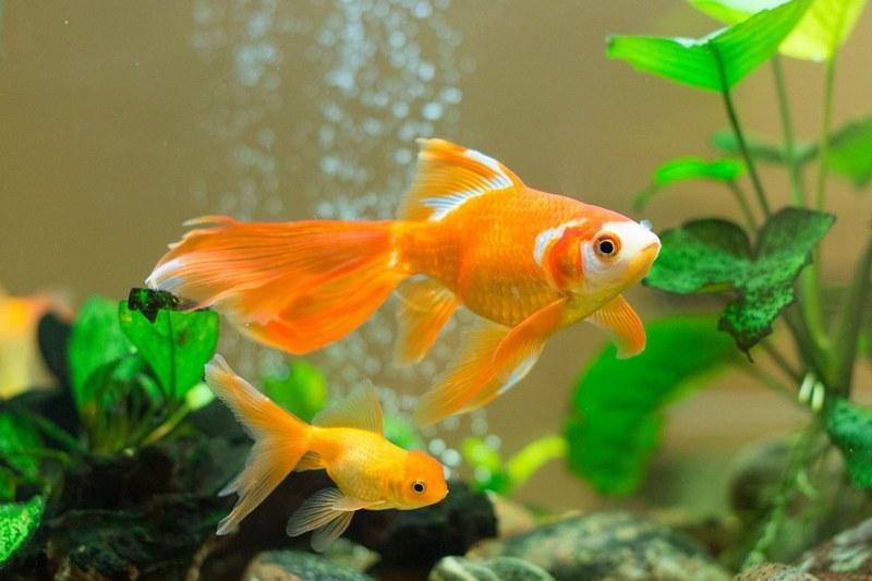 Содержание золотых рыбок и уход за ними - дело несложное даже для начинающего аквариумиста