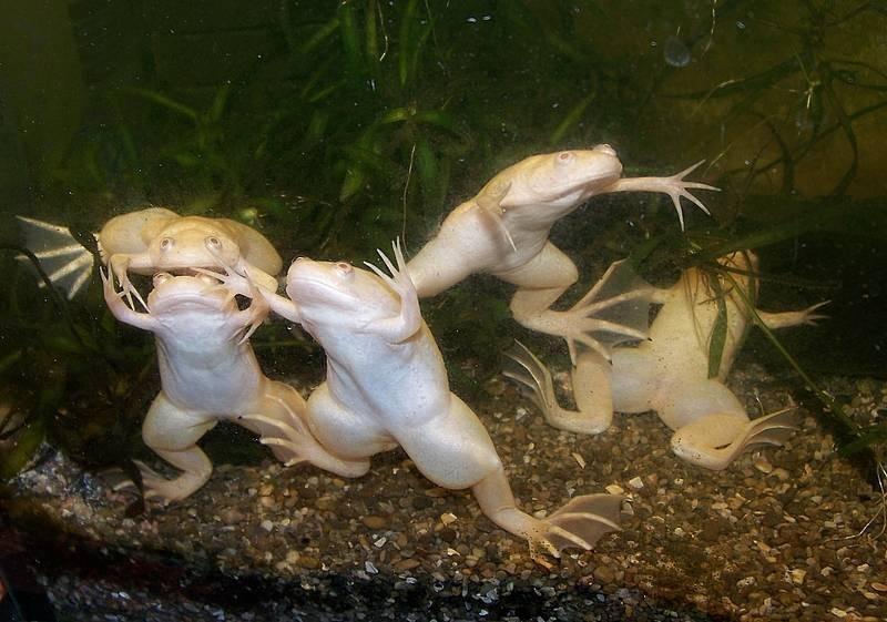 Содержать шпорцевых лягушек рекомендуется со своими сородичами или более крупными по размеру рыбками