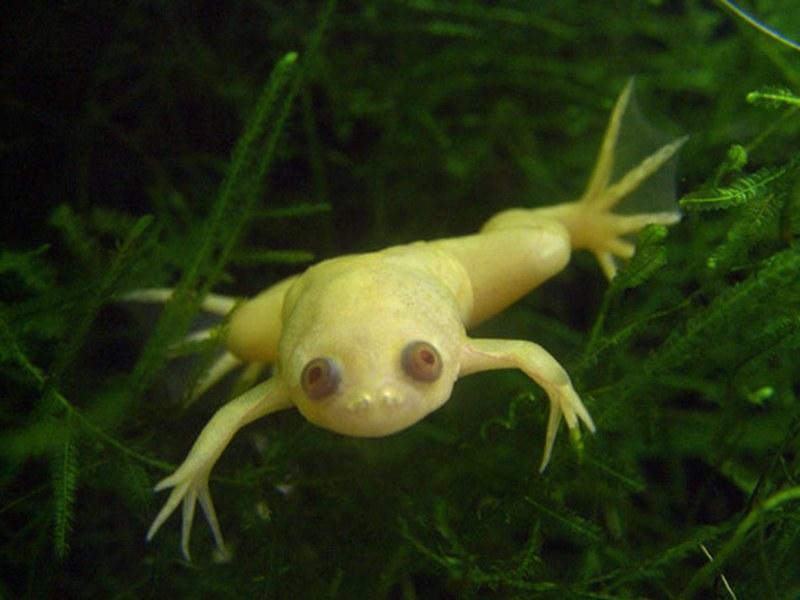 Средняя длина шпорцевой лягушки альбиноса достигает 15-16 см