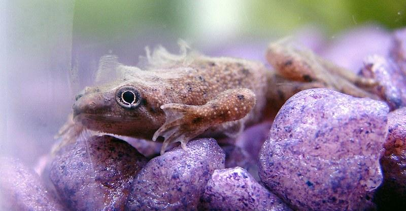 Старую кожу после линьки шпорцевая лягушка сразу съедает