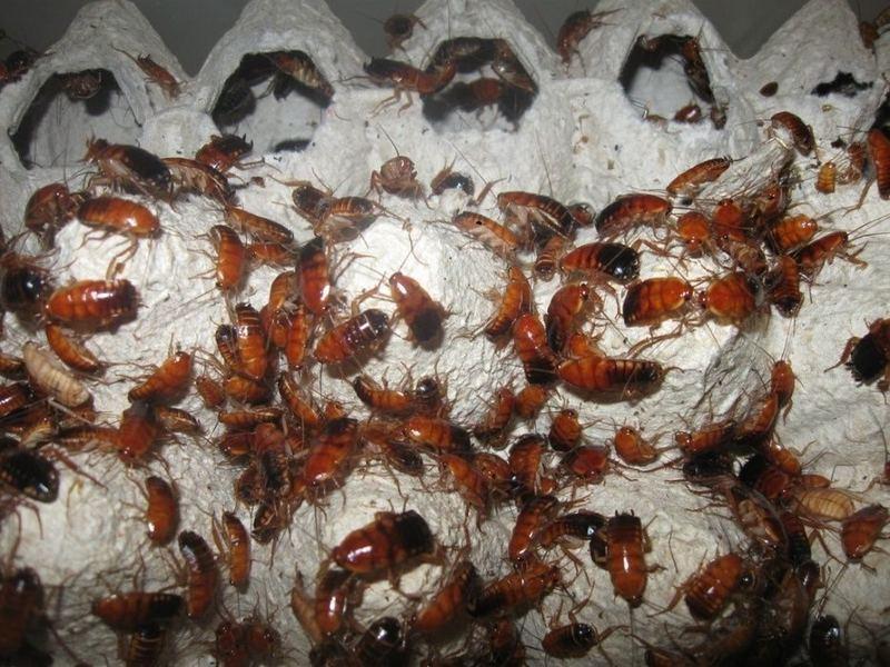 Тараканы для кормления паука