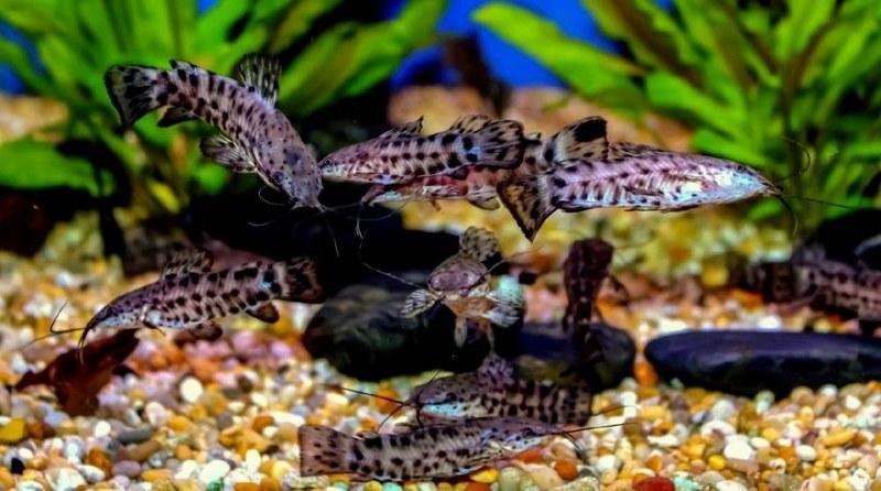 Таракатумы могут мирно существовать вместе с золотыми рыбками