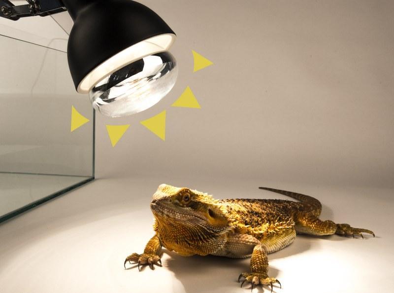 Ультрафиолетовые светильники должны находиться непосредственно над местом, где располагается игуана