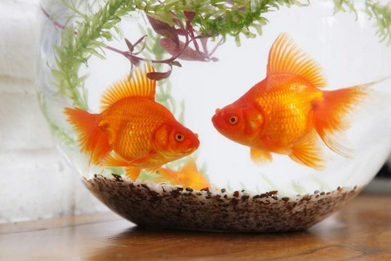 В аквариуме рекомендуется держать вместе не более двух золотых рыбок