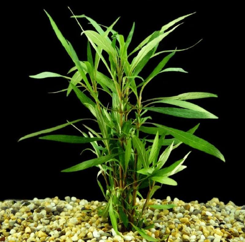 В естественной среде гигрофила произрастает вдоль водоемов
