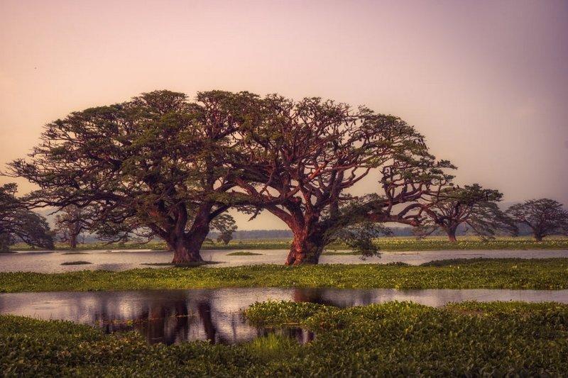 В природных условиях пистия произрастает в тропических водоёмах восточного и западного полушария