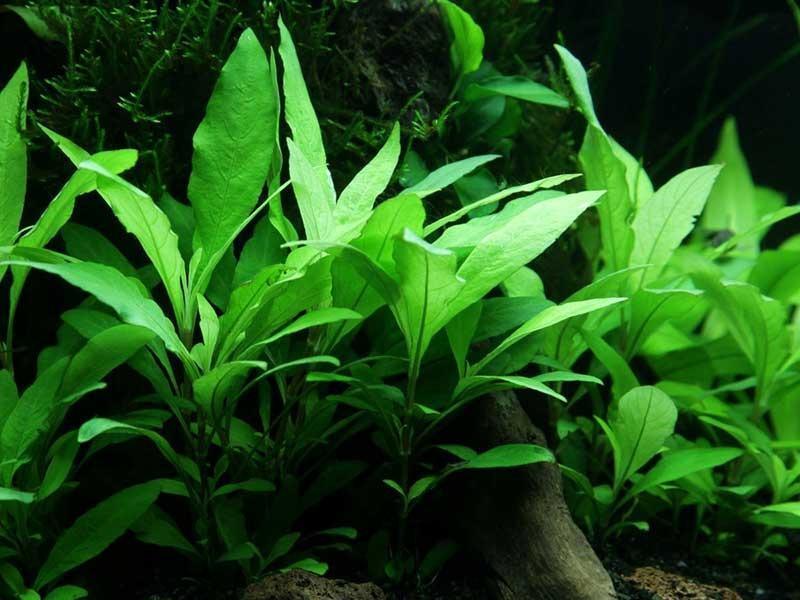 В природных условиях растение встречается в водоемах Юго-Восточной Азии
