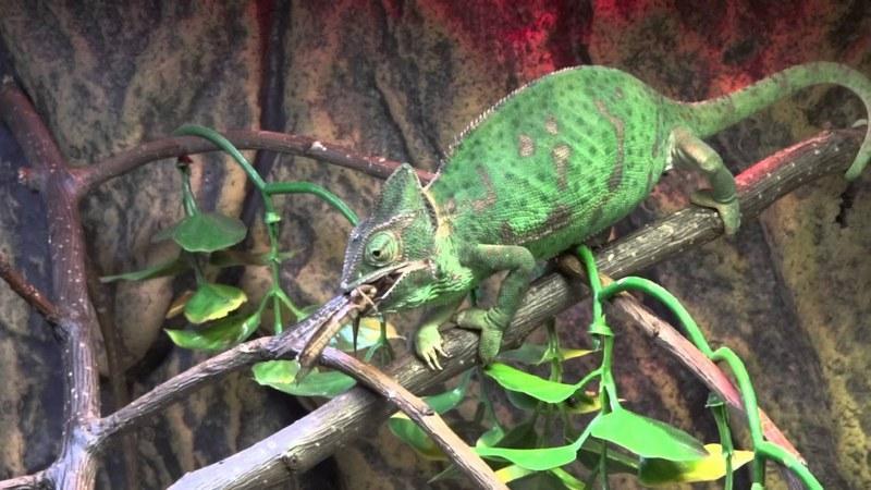 В природных условиях рацион хамелеона состоит из различной живности, которую они могут поймать языком