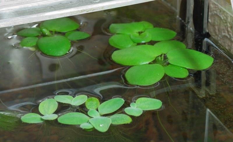 Пистия зимует в аквариуме при температуре не ниже +17-19 °C