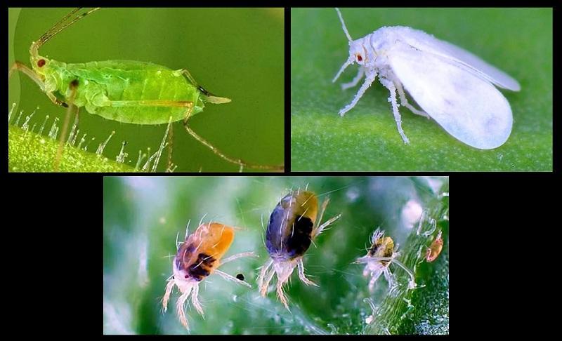 К вредителям, поражающим растение, относятся: тля, белокрылка и паутинный клещ