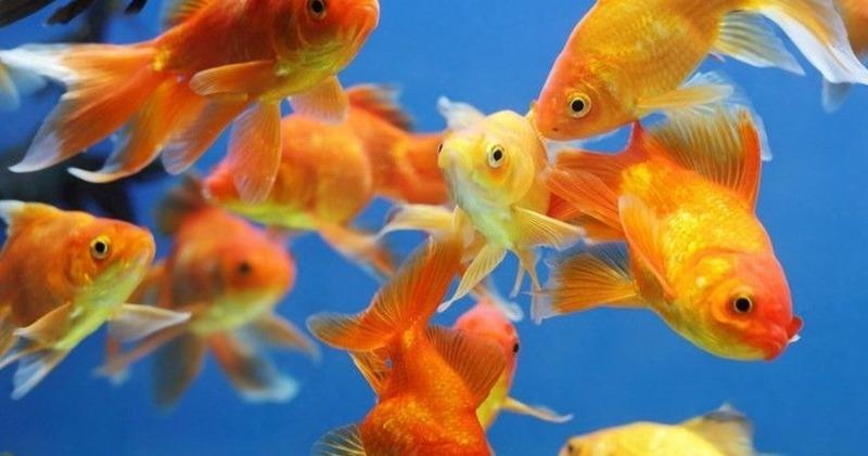 Золотушки могут съесть очень мелких рыбок